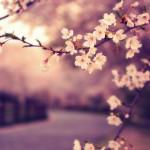 Sakuras_nihon_no_sekai (6)