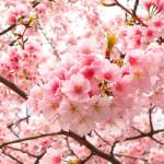 Nihon No Sekai - Sakura